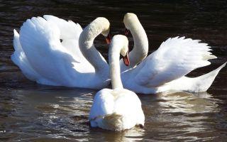 Главные герои сказки «Дикие лебеди»